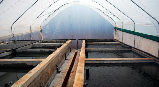 Flow through African catfish production system